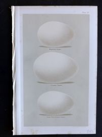 Seebohm 1896 Bird Eggs Print. Egyptian, Canada, Lesser White Fronted Goose 12.